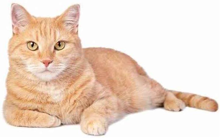 kucing kampung warna orange
